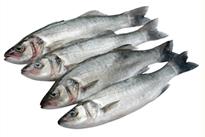 Bass fish selection
